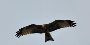 Eagle over head